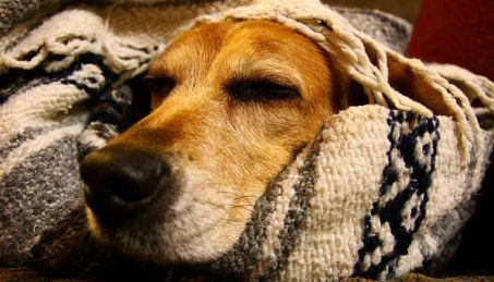 cosy dog in winter christmas blanket